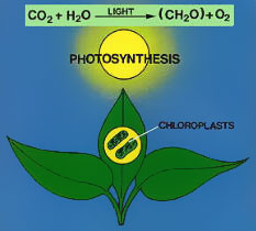 Importance of photosynthesis to humans