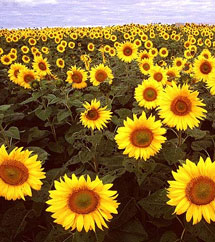 Sunflower is a flowering plant