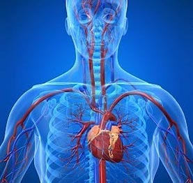 cardiovascular system - human body - find fun facts, Muscles