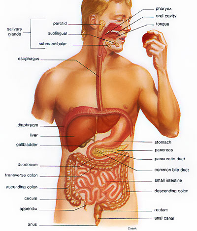 Organ Inside The Body For Digesting Food