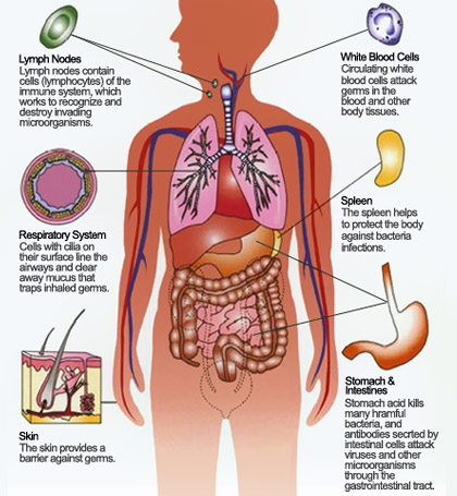 immune system - human body - find fun facts, Muscles