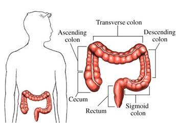 intestines human body find fun facts : large intestine diagram - findchart.co