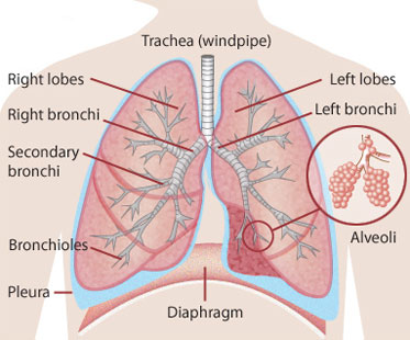 lungs - human body - find fun facts, Cephalic Vein