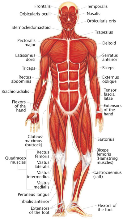 muscular system - human body - find fun facts, Muscles
