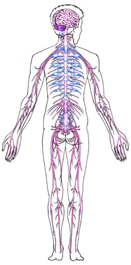 Nervous System - Human Body - Find Fun Facts