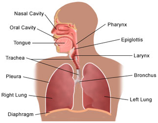 respiratory system - human body - find fun facts, Muscles