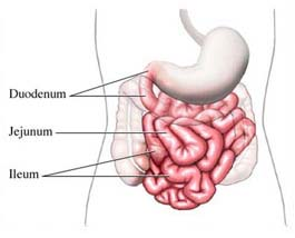 intestines   human body   find fun factsthe small intestine