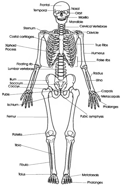 skeletal system - human body - find fun facts, Skeleton